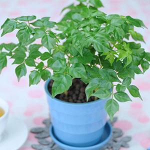 绿萝净化空气桌面盆栽